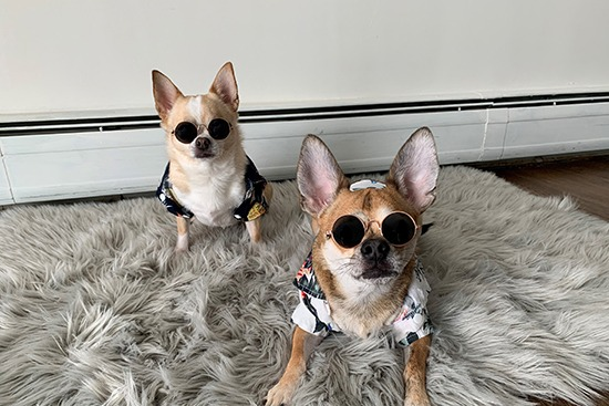 two dogs named matcha and mango in matching hawaiin shirt and sunglasses