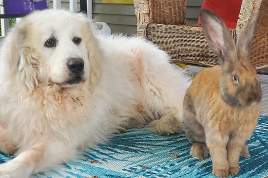 Great Pyrenees named Indrik with his best bud Radigast the rabbit.