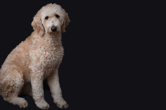 Belle Lee, a Goldendoodle looking at the camera in front of a black background