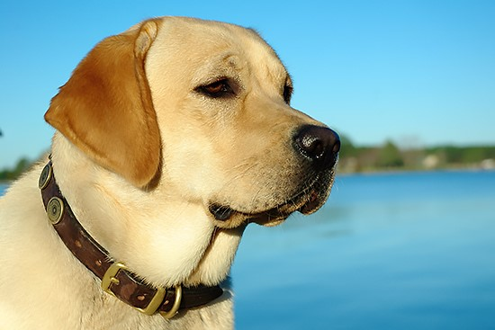 Millie, a golden lab, wearing a brown leather collar in front of a slightly blurry water background