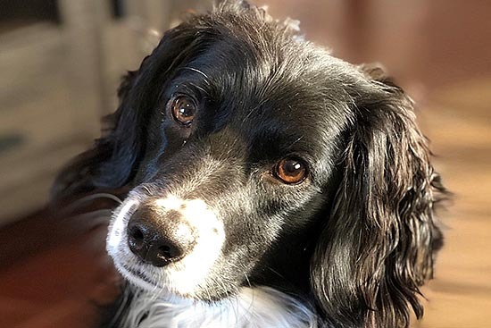 Rocco, a Spaniel, looking at the camera