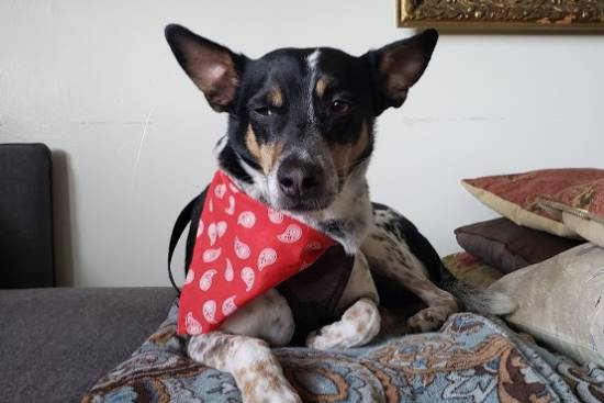 Loc Nar, a rat terrier mix adopted from NAWS in Mokena, Illinois in a red bandanna
