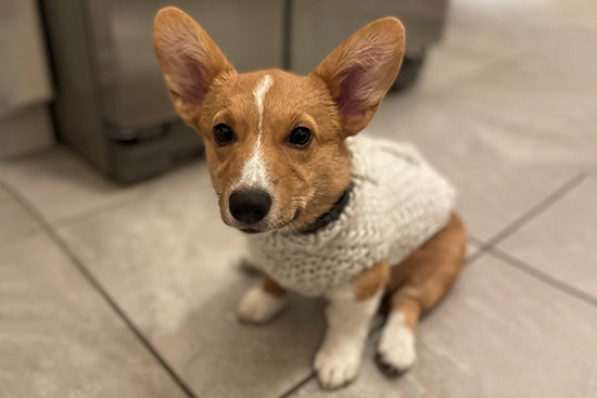 A small, young Corgi named Velma wearing a white knitted sweater
